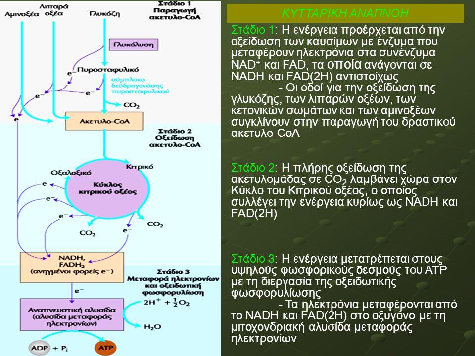 ΚΥΤΤΑΡΙΚΗ ΑΝΑΠΝΟΗ Στάδιο 1: Η ενέργεια προέρχεται από την οξείδωση των καυσίμων με ένζυμα που μεταφέρουν ηλεκτρόνια στα συνένζυμα ΝΑD + και FAD, τα οποία ανάγονται σε NADH και FAD(2H) αντιστοίχως - Οι οδοί για την οξείδωση της γλυκόζης, των λιπαρών οξέων, των κετονικών σωμάτων και των αμινοξέων συγκλίνουν στην παραγωγή του δραστικού ακετυλο-CoA Στάδιο 2: Η πλήρης οξείδωση της ακετυλομάδας σε CΟ 2 λαμβάνει χώρα στον Κύκλο του Κιτρικού οξέος, ο οποίος συλλέγει την ενέργεια κυρίως ως NADH και FAD(2H) Στάδιο 3: Η ενέργεια μετατρέπεται στους υψηλούς φωσφορικούς δεσμούς του ΑΤΡ με τη διεργασία της οξειδωτικής φωσφoρυλίωσης - Τα ηλεκτρόνια μεταφέρονται από το NADH και FAD(2H) στο οξυγόνο με τη μιτοχονδριακή αλυσίδα μεταφοράς ηλεκτρονίων