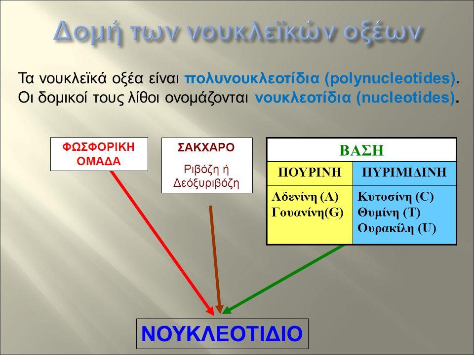 ΦΩΣΦΟΡΙΚΗ ΟΜΑΔΑ ΣΑΚΧΑΡΟ Ριβόζη ή Δεόξυριβόζη ΝΟΥΚΛΕΟΤΙΔΙΟ ΒΑΣΗ ΠΟΥΡΙΝΗΠΥΡΙΜΙΔΙΝΗ Αδενίνη (A) Γουανίνη(G) Κυτοσίνη (C) Θυμίνη (T) Ουρακίλη (U) Τα νουκλεϊκά οξέα είναι πολυνουκλεοτίδια (polynucleotides).