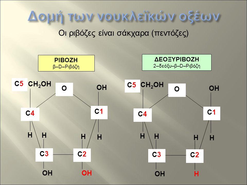ΡΙΒΟΖΗ β–D–Ριβόζη ΔΕΟΞΥΡΙΒΟΖΗ 2–δεόξυ–β–D–Ριβόζη CH 2 OH H OH C4C4 C2C2 C1C1 O H H H C3C3 CH 2 OH H OH C4C4 C2C2 H C1C1 O H H H C3C3 C5C5 C5C5 Οι ριβόζες είναι σάκχαρα (πεντόζες)