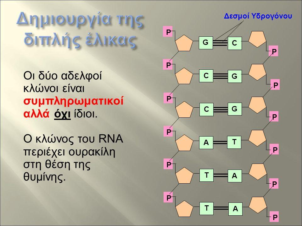 P P P P P P C G G T A A P P P P P P G C C A T T Δεσμοί Υδρογόνου Οι δύο αδελφοί κλώνοι είναι συμπληρωματικοί αλλά όχι ίδιοι.