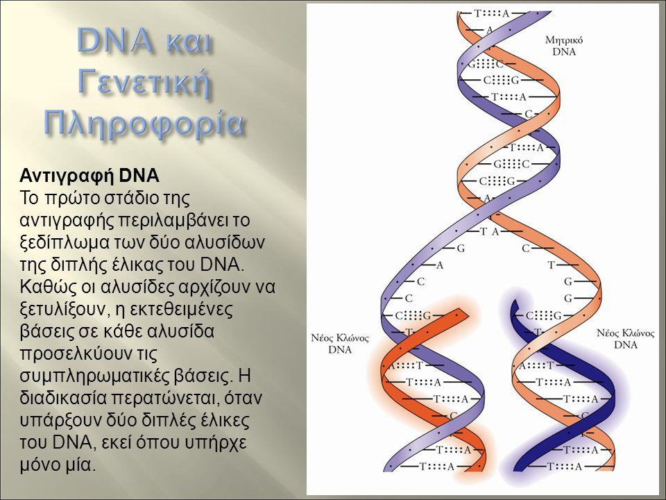 Αντιγραφή DNA Το πρώτο στάδιο της αντιγραφής περιλαμβάνει το ξεδίπλωμα των δύο αλυσίδων της διπλής έλικας του DNA.