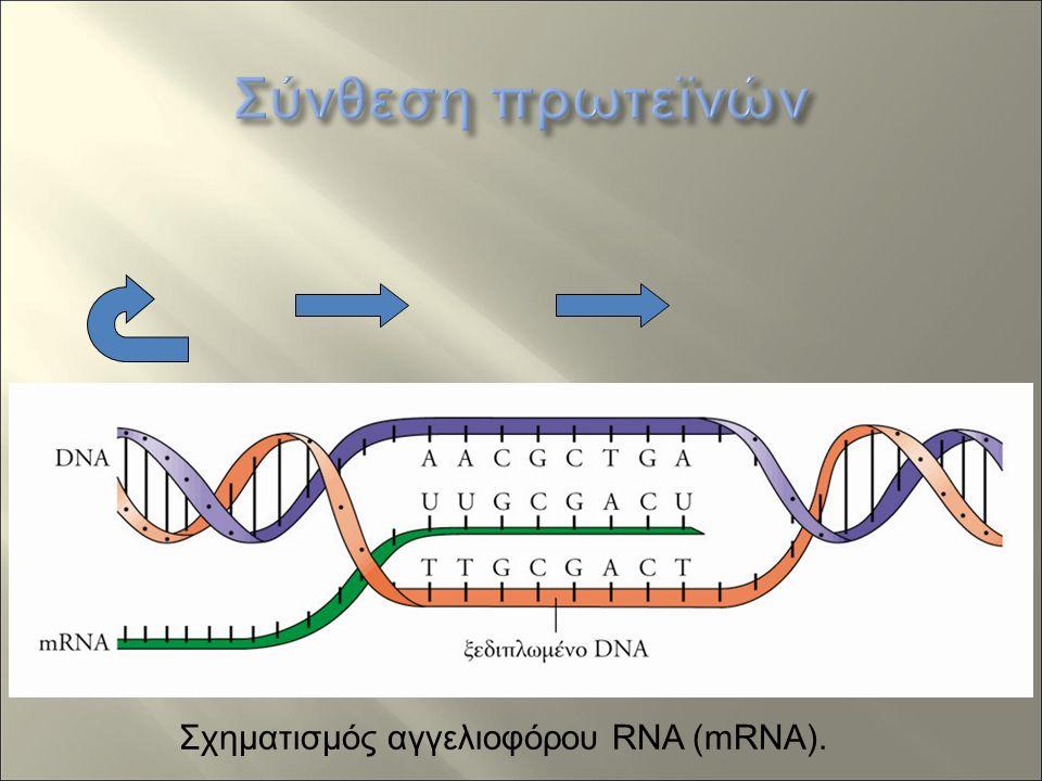 Σχηματισμός αγγελιοφόρου RNA (mRNA).