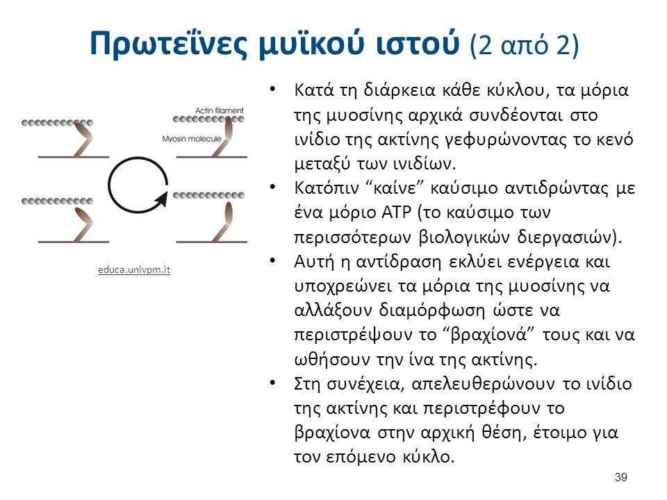 Πρωτεΐνες μυϊκού ιστού (2 από 2) 39 educa.univpm.it Κατά τη διάρκεια κάθε κύκλου, τα μόρια της μυοσίνης αρχικά συνδέονται στο ινίδιο της ακτίνης γεφυρώνοντας το κενό μεταξύ των ινιδίων.