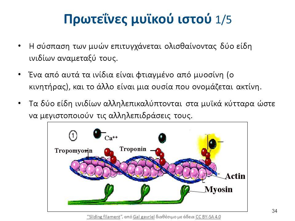 Πρωτεΐνες μυϊκού ιστού 1/5 Η σύσπαση των μυών επιτυγχάνεται ολισθαίνοντας δύο είδη ινιδίων αναμεταξύ τους. Ένα από αυτά τα ινίδια είναι φτιαγμένο από