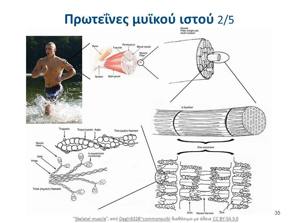 """Πρωτεΐνες μυϊκού ιστού 2/5 35 """"Skeletal muscle"""", από Deglr6328~commonswiki διαθέσιμο με άδεια CC BY-SA 3.0Skeletal muscleDeglr6328~commonswikiCC BY-SA"""