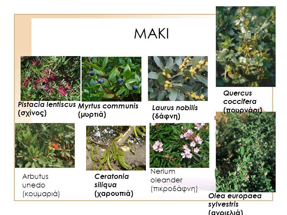 ΜΑΚΙ Pistacia lentiscus (σχίνος) Myrtus communis (μυρτιά) Laurus nobilis (δάφνη) Olea europaea sylvestris (αγριελιά) Quercus coccifera (πουρνάρι) Ceratonia siliqua (χαρουπιά) Nerium oleander (πικροδάφνη) Arbutus unedo (κουμαριά)