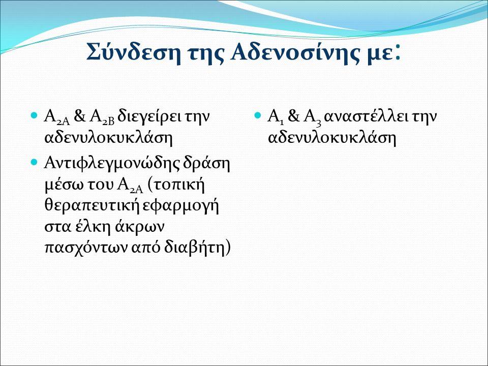 Σύνδεση της Αδενοσίνης με : Α 2Α & Α 2Β διεγείρει την αδενυλοκυκλάση Αντιφλεγμονώδης δράση μέσω του Α 2Α (τοπική θεραπευτική εφαρμογή στα έλκη άκρων πασχόντων από διαβήτη) Α 1 & Α 3 αναστέλλει την αδενυλοκυκλάση