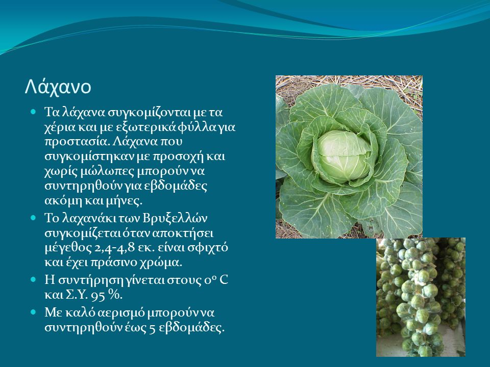 Λάχανο Η σπορά του λάχανου αρχίζει την 1 η εβδομάδα του Ιουλίου και συνεχίζεται καθόλη τη διάρκεια του καλοκαιριού.