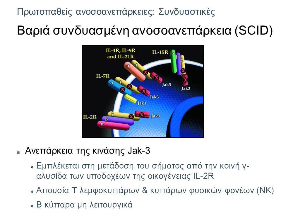 Πρωτοπαθείς ανοσοανεπάρκειες: Συνδυαστικές Βαριά συνδυασμένη ανοσοανεπάρκεια (SCID) Ανεπάρκεια της κινάσης Jak-3 Εμπλέκεται στη μετάδοση του σήματος από την κοινή γ- αλυσίδα των υποδοχέων της οικογένειας IL-2R Απουσία Τ λεμφοκυττάρων & κυττάρων φυσικών-φονέων (NK) Β κύτταρα μη λειτουργικά