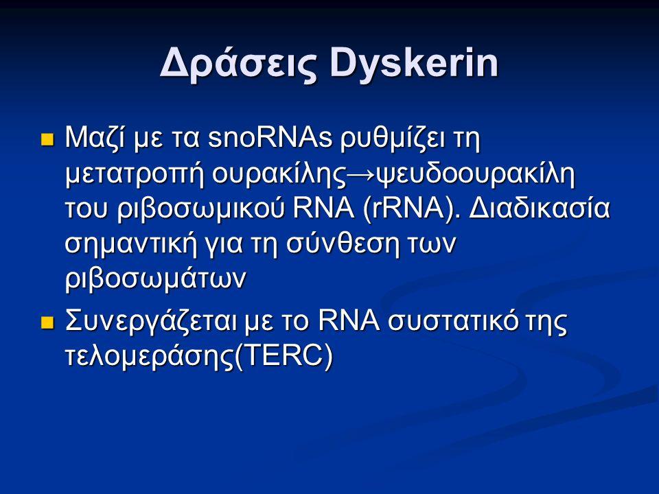 Δράσεις Dyskerin Μαζί με τα snoRNAs ρυθμίζει τη μετατροπή ουρακίλης→ψευδοουρακίλη του ριβοσωμικού RNA (rRNA).