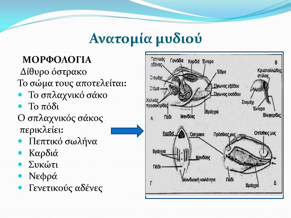 Ανατομία μυδιού ΜΟΡΦΟΛΟΓΙΑ Δίθυρο όστρακο Το σώμα τους αποτελείται: Το σπλαχνικό σάκο Το πόδι Ο σπλαχνικός σάκος περικλείει: Πεπτικό σωλήνα Καρδιά Συκώτι Νεφρά Γενετικούς αδένες