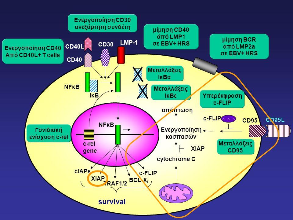 Ενεργοποίηση CD40 Από CD40L+ Τ cells μίμηση BCR από LMP2a σε EBV+ HRS Γονιδιακή ενίσχυση c-rel Μεταλλάξεις IκΒα Μεταλλάξεις CD95 Ενεργοποίηση CD30 ανεξάρτητη συνδέτη μίμηση CD40 άπό LMP1 σε EBV+ HRS cytochrome C Ενεργοποίηση κασπασών απόπτωση Μεταλλάξεις IκΒε Υπερέκφραση c-FLIP NFκΒ CD40 CD40L CD30 LMP-1 NFκΒ survival c-FLIP CD95 XIAP IκΒ c-rel gene cIAPs c-FLIP BCL-X L ΧIAP TRAF1/2 CD95L