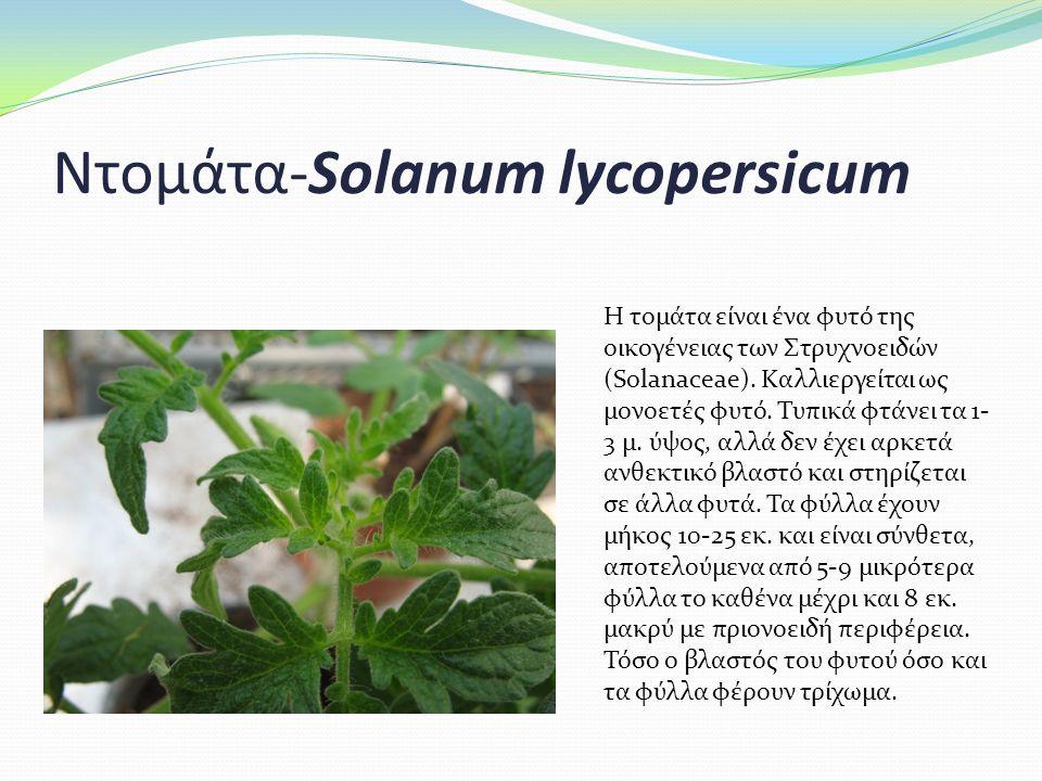 Ντομάτα-Solanum lycopersicum Η τομάτα είναι ένα φυτό της οικογένειας των Στρυχνοειδών (Solanaceae).