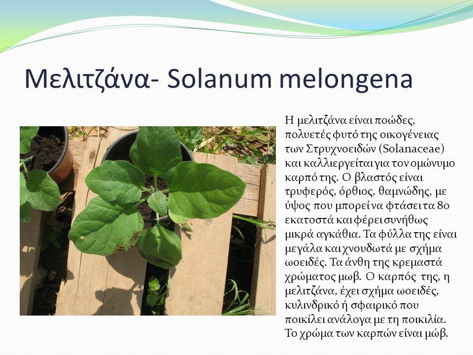 Μελιτζάνα- Solanum melongena Η μελιτζάνα είναι ποώδες, πολυετές φυτό της οικογένειας των Στρυχνοειδών (Solanaceae) και καλλιεργείται για τον ομώνυμο καρπό της.