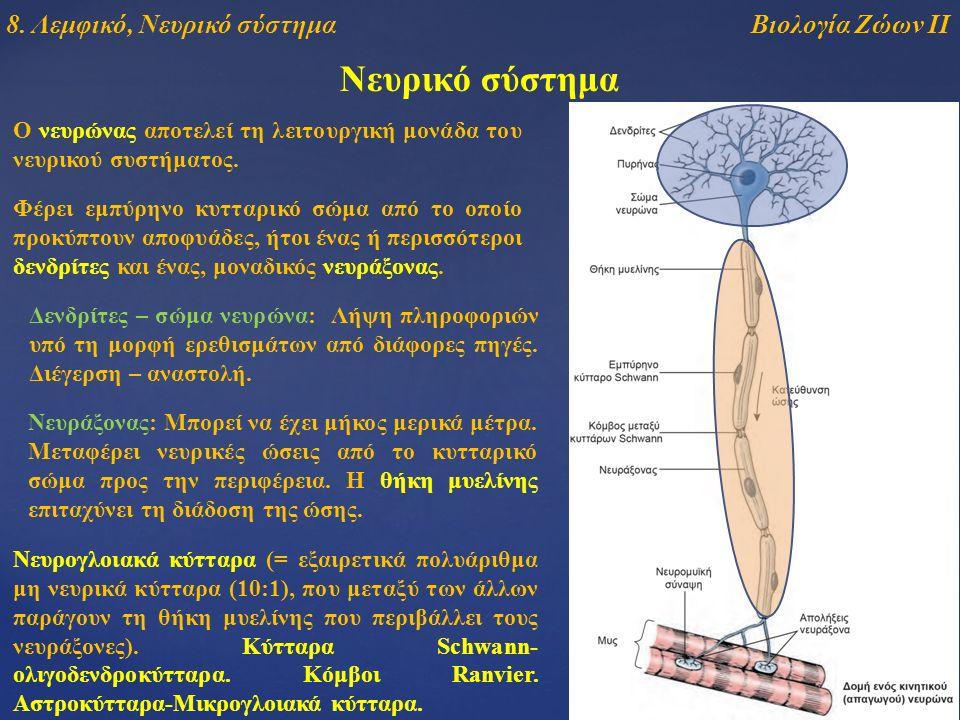 Νευρικό σύστημα Ο νευρώνας αποτελεί τη λειτουργική μονάδα του νευρικού συστήματος. Φέρει εμπύρηνο κυτταρικό σώμα από το οποίο προκύπτουν αποφυάδες, ήτ