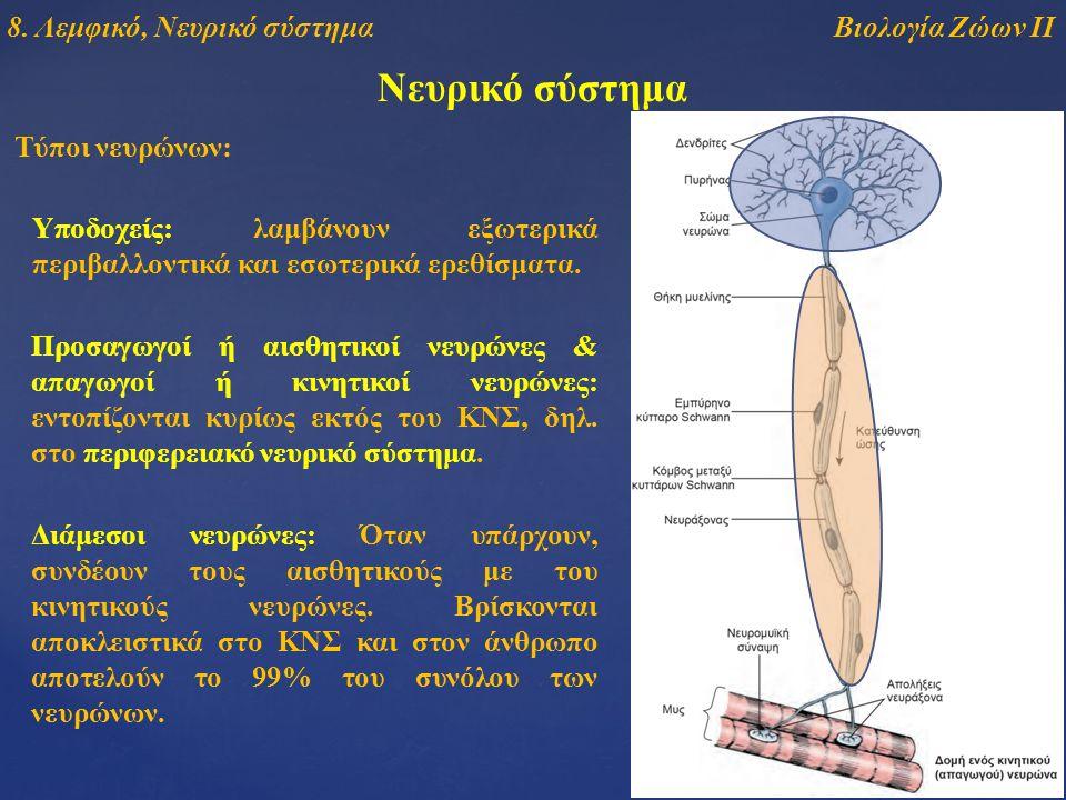 Νευρικό σύστημα Τύποι νευρώνων: Υποδοχείς: λαμβάνουν εξωτερικά περιβαλλοντικά και εσωτερικά ερεθίσματα. Προσαγωγοί ή αισθητικοί νευρώνες & απαγωγοί ή