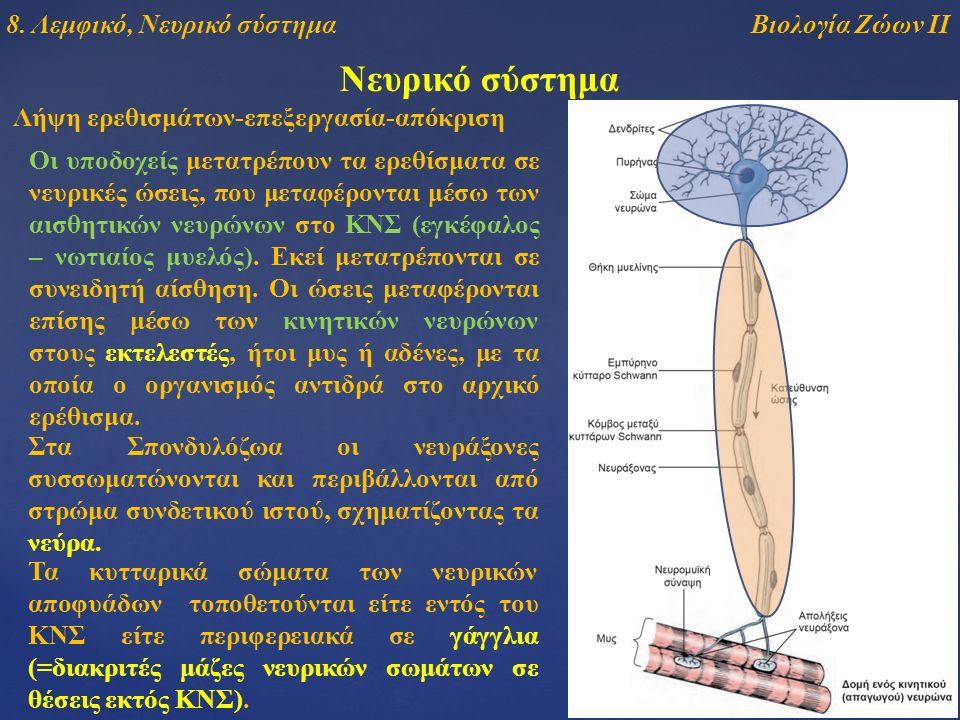 Νευρικό σύστημα Λήψη ερεθισμάτων-επεξεργασία-απόκριση Οι υποδοχείς μετατρέπουν τα ερεθίσματα σε νευρικές ώσεις, που μεταφέρονται μέσω των αισθητικών νευρώνων στο ΚΝΣ (εγκέφαλος – νωτιαίος μυελός).