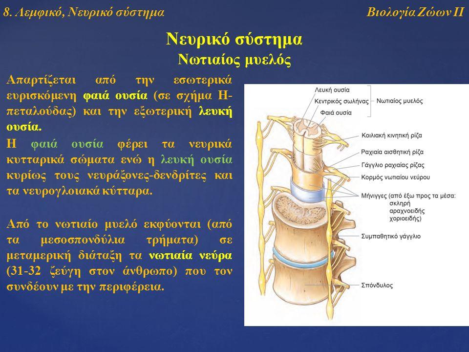 Νευρικό σύστημα Απαρτίζεται από την εσωτερικά ευρισκόμενη φαιά ουσία (σε σχήμα Η- πεταλούδας) και την εξωτερική λευκή ουσία. Νωτιαίος μυελός Από το νω