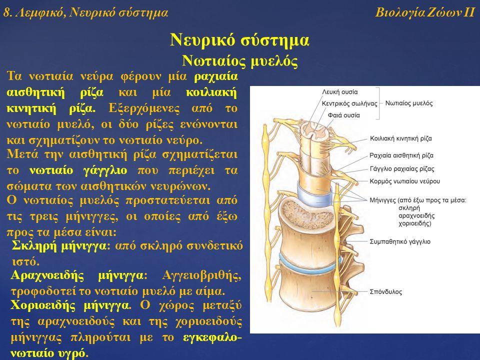 Νευρικό σύστημα Τα νωτιαία νεύρα φέρουν μία ραχιαία αισθητική ρίζα και μία κοιλιακή κινητική ρίζα. Εξερχόμενες από το νωτιαίο μυελό, οι δύο ρίζες ενών
