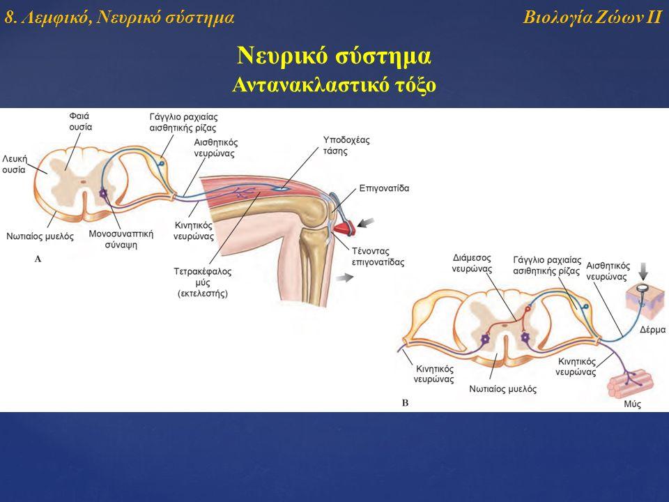 Νευρικό σύστημα Αντανακλαστικό τόξο Βιολογία Ζώων ΙΙ8. Λεμφικό, Νευρικό σύστημα
