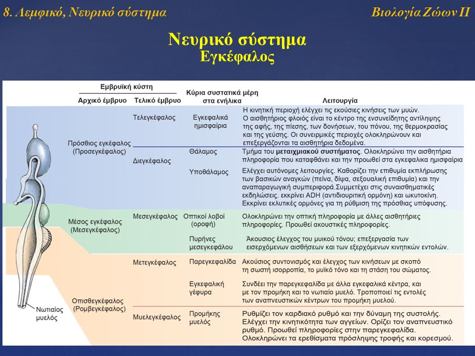 Νευρικό σύστημα Εγκέφαλος Βιολογία Ζώων ΙΙ8. Λεμφικό, Νευρικό σύστημα