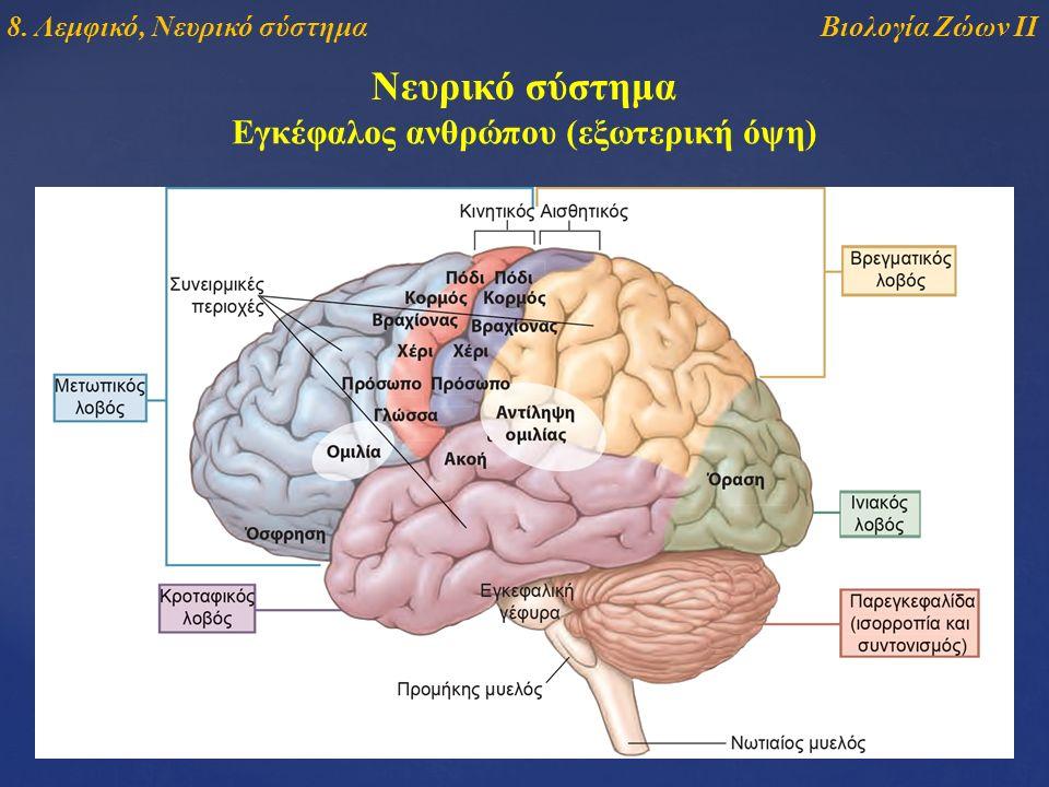 Νευρικό σύστημα Εγκέφαλος ανθρώπου (εξωτερική όψη) Βιολογία Ζώων ΙΙ8. Λεμφικό, Νευρικό σύστημα