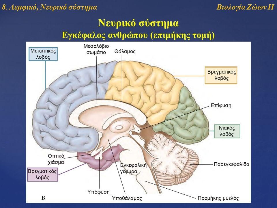 Νευρικό σύστημα Εγκέφαλος ανθρώπου (επιμήκης τομή) Βιολογία Ζώων ΙΙ8. Λεμφικό, Νευρικό σύστημα