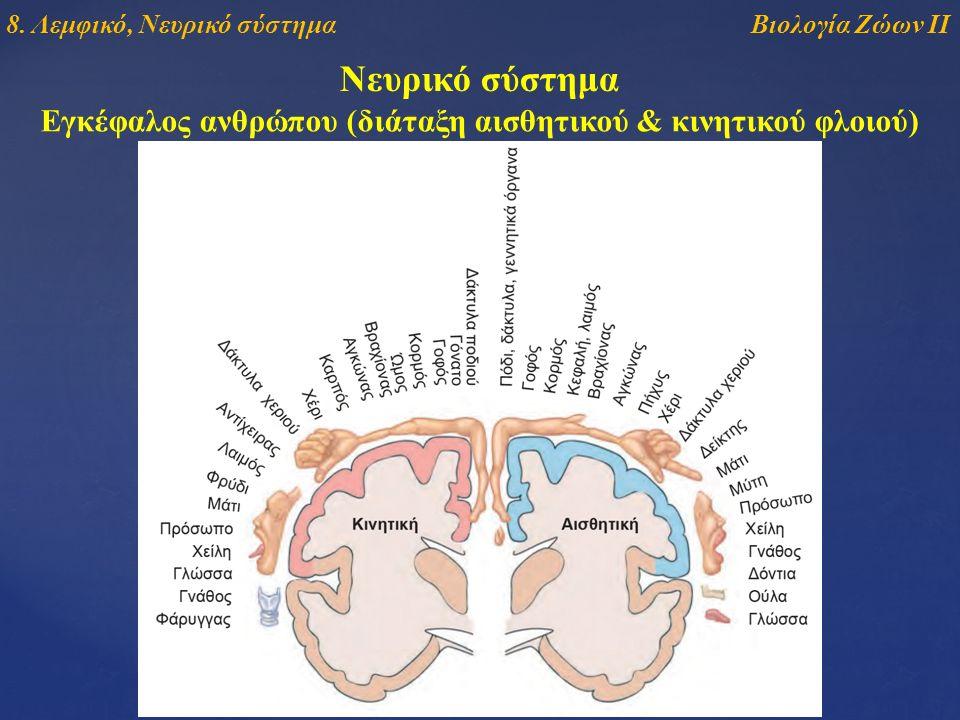 Νευρικό σύστημα Εγκέφαλος ανθρώπου (διάταξη αισθητικού & κινητικού φλοιού) Βιολογία Ζώων ΙΙ8. Λεμφικό, Νευρικό σύστημα
