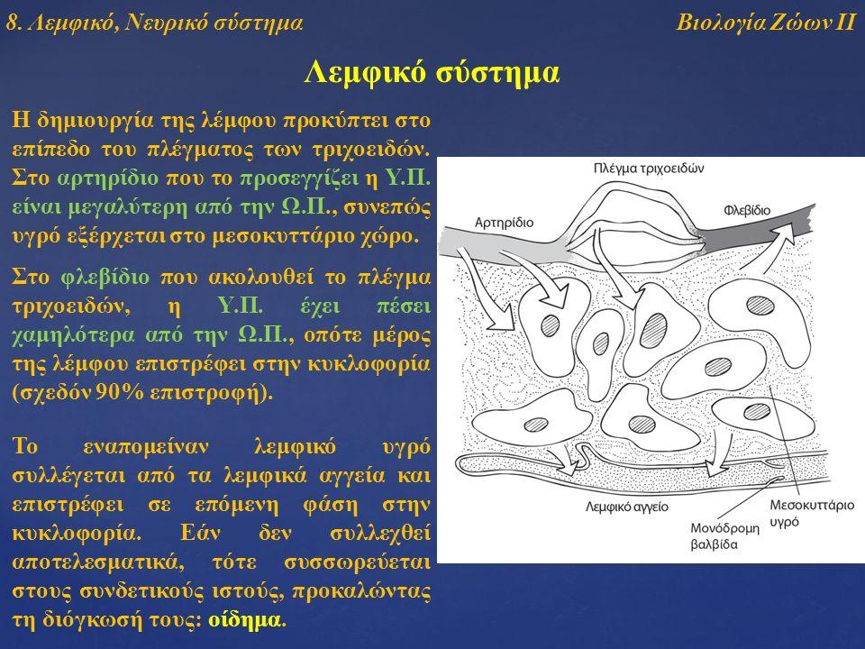 Λεμφικό σύστημα Η δημιουργία της λέμφου προκύπτει στο επίπεδο του πλέγματος των τριχοειδών. Στο αρτηρίδιο που το προσεγγίζει η Υ.Π. είναι μεγαλύτερη α