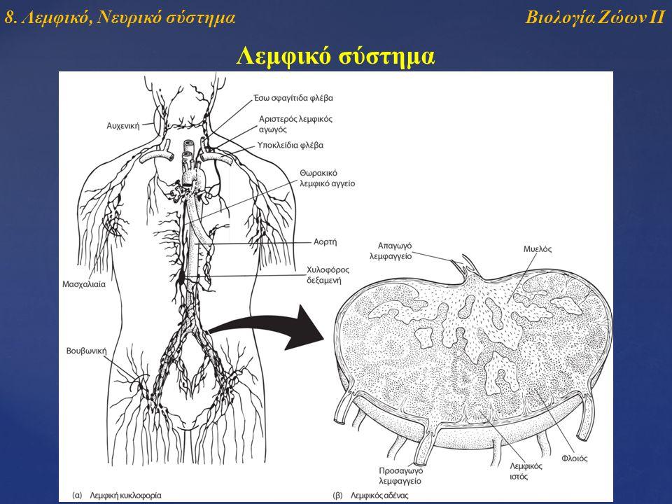 Λεμφικό σύστημα Βιολογία Ζώων ΙΙ8. Λεμφικό, Νευρικό σύστημα
