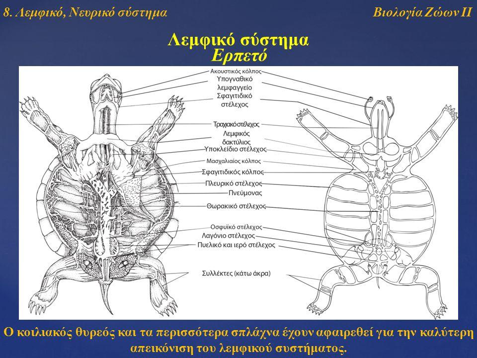 Λεμφικό σύστημα Ο κοιλιακός θυρεός και τα περισσότερα σπλάχνα έχουν αφαιρεθεί για την καλύτερη απεικόνιση του λεμφικού συστήματος. Ερπετό Βιολογία Ζώω