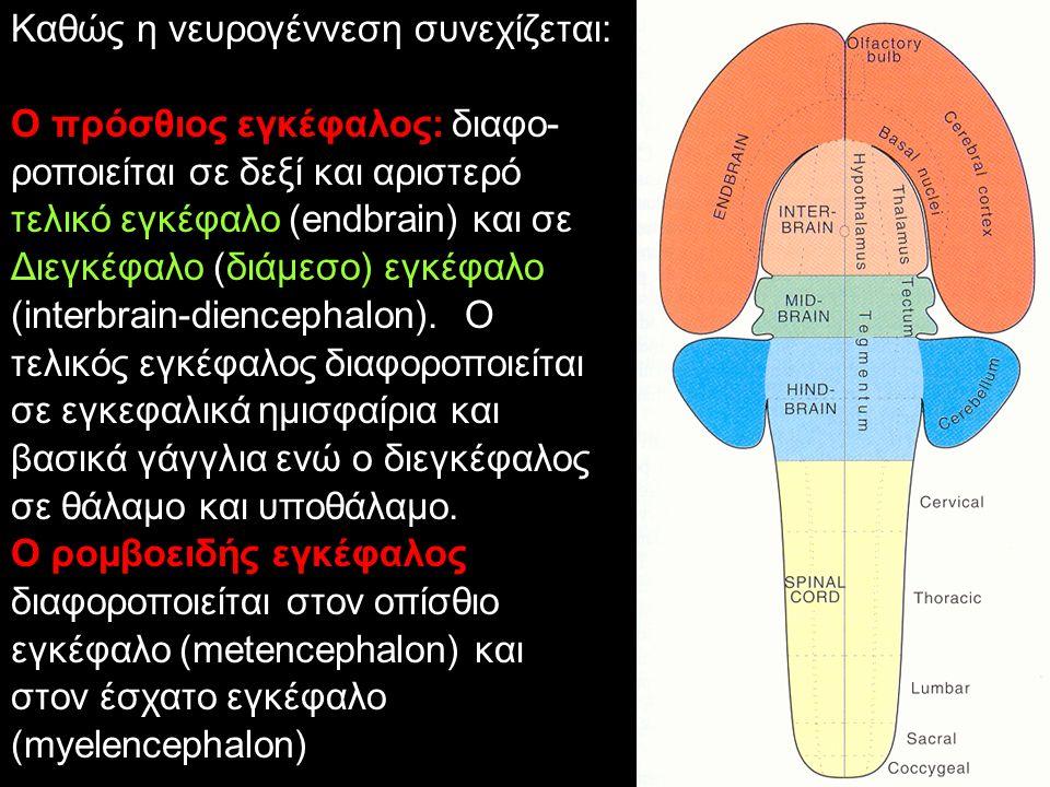 Καθώς η νευρογέννεση συνεχίζεται: Ο πρόσθιος εγκέφαλος: διαφο- ροποιείται σε δεξί και αριστερό τελικό εγκέφαλο (endbrain) και σε Διεγκέφαλο (διάμεσο)