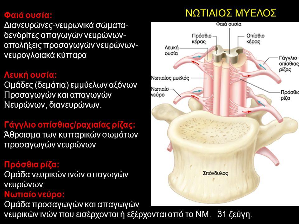ΝΩΤΙΑΙΟΣ ΜΥΕΛΟΣ Φαιά ουσία: Διανευρώνες-νευρωνικά σώματα- δενδρίτες απαγωγών νευρώνων- απολήξεις προσαγωγών νευρώνων- νευρογλοιακά κύτταρα Λευκή ουσία