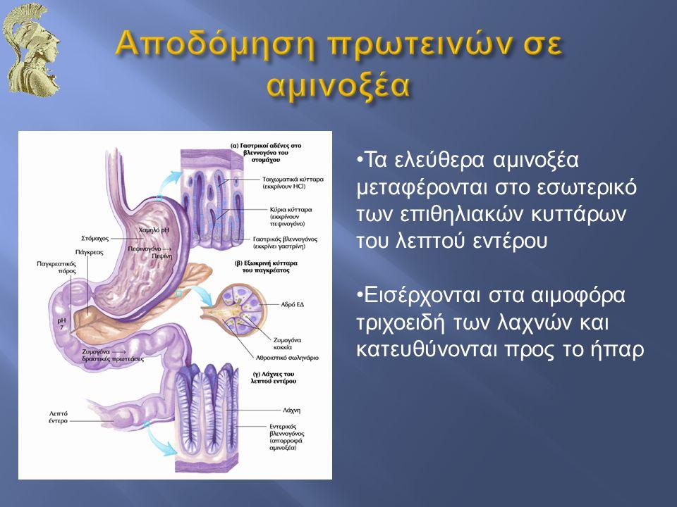 Τα ελεύθερα αμινοξέα μεταφέρονται στο εσωτερικό των επιθηλιακών κυττάρων του λεπτού εντέρου Εισέρχονται στα αιμοφόρα τριχοειδή των λαχνών και κατευθύν