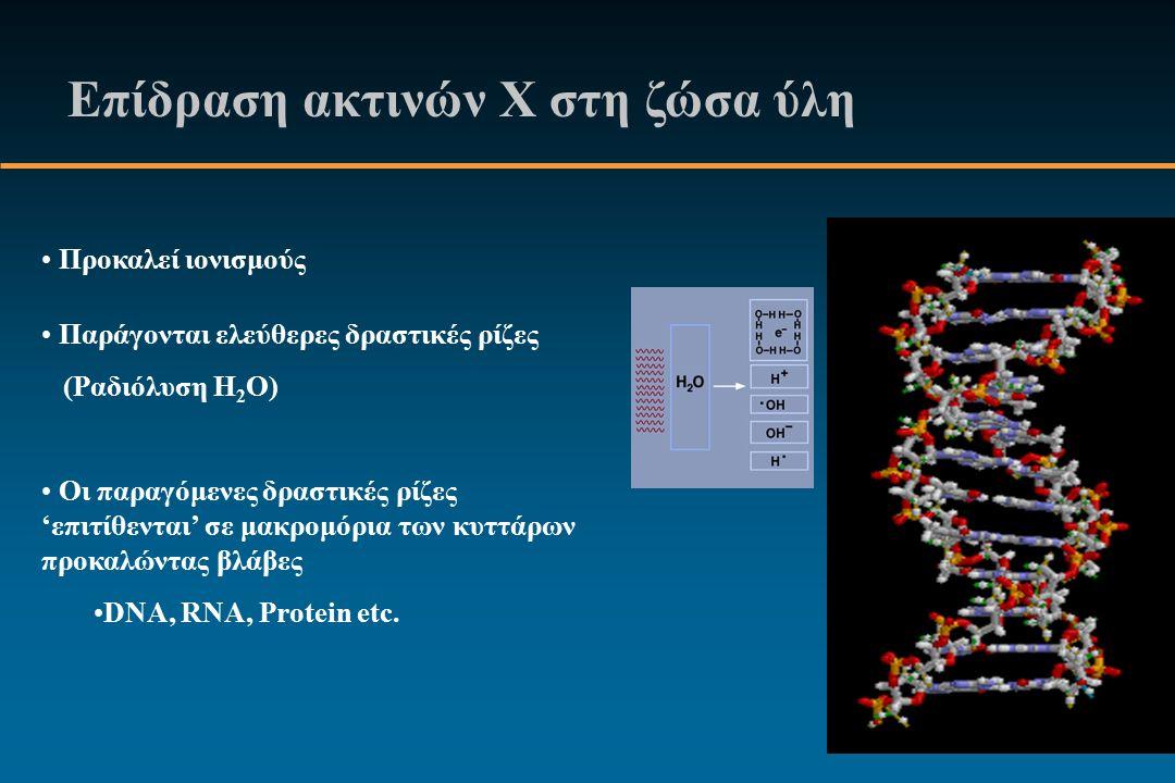 Επίδραση ακτινών Χ στη ζώσα ύλη Προκαλεί ιονισμούς Παράγονται ελεύθερες δραστικές ρίζες (Ραδιόλυση H 2 O) Οι παραγόμενες δραστικές ρίζες 'επιτίθενται' σε μακρομόρια των κυττάρων προκαλώντας βλάβες DNA, RNA, Protein etc.
