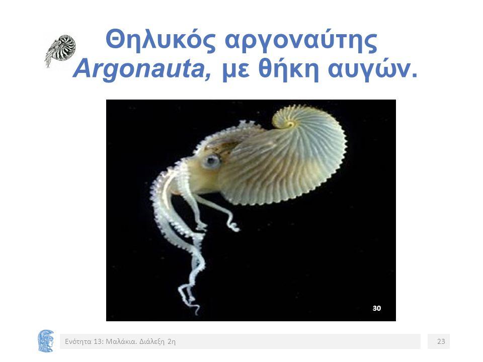 Θηλυκός αργοναύτης Argonauta, με θήκη αυγών. Ενότητα 13: Μαλάκια. Διάλεξη 2η23 3030