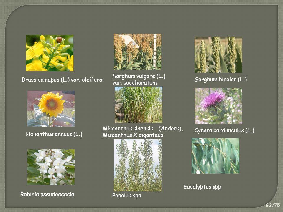 63/75 Brassica napus (L.) var. oleifera Sorghum vulgare (L.) var. saccharatum Helianthus annuus (L.) Miscanthus sinensis (Anders), Miscanthus X gigant