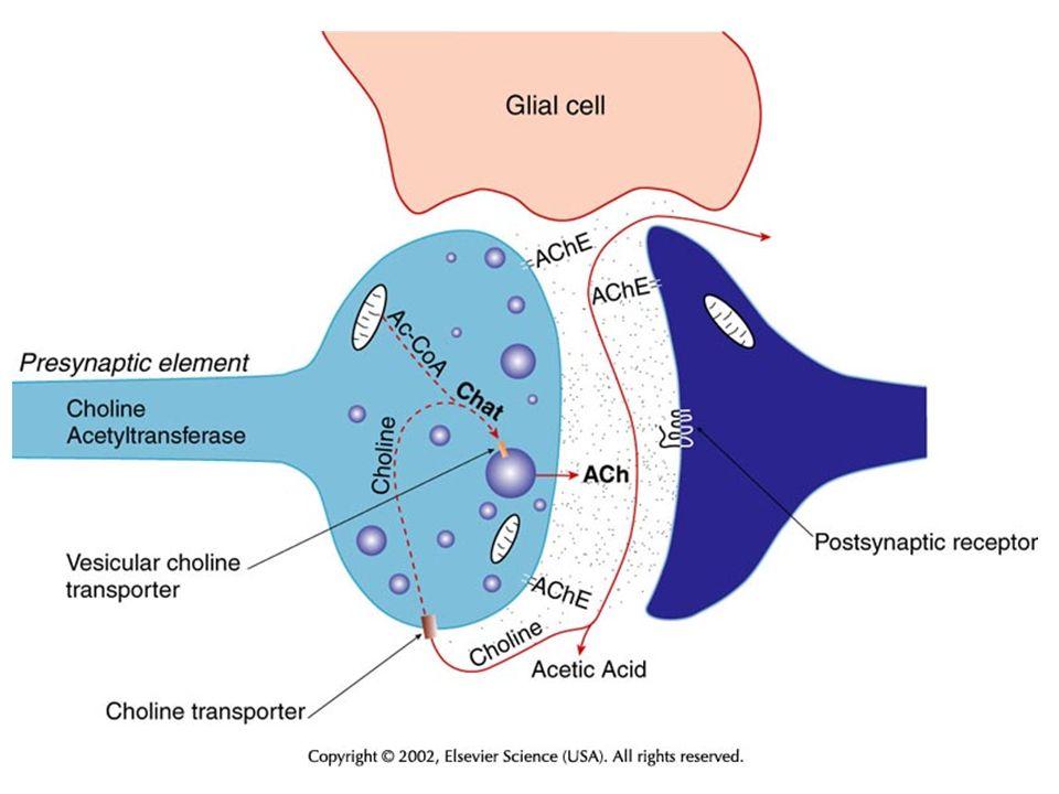 Έκλυση ACh Εξαρτάται από είσοδο Ca 2+ Κβαντική έκλυση από κυστίδια και κυτταρόπλασμα Ευοδώνεται από β-bungarotoxin, δηλητήριο αρά- χνης black widow Αναστέλλεται από τοξίνη του τετάνου και τύπου β τοξίνη αλλαντίασης (botulinum) Ρυθμίζεται εν μέρει από την ACh που δρα σε ανα- σταλτικούς προσυναπτικούς αυτοϋποδοχείς (Μ2)
