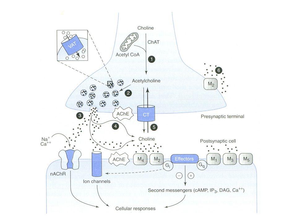 Αδρανοποίηση ACh Κυρίως μέσω υδρολύσεως από την ακετυλχολι- νεστεράση (AChE) και την βουτυρυλχολινεστε- στεράση AChE: δραστικώτατο ένζυμο, με δύο καταλυτι- κές περιοχές, ανιονική και εστερική.