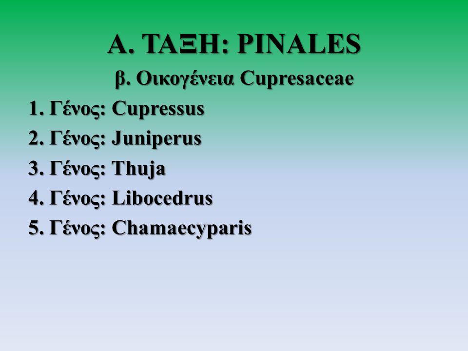 Α.ΤΑΞΗ: PINALES β. Οικογένεια Cupresaceae 1. Γένος: Cupressus 2.