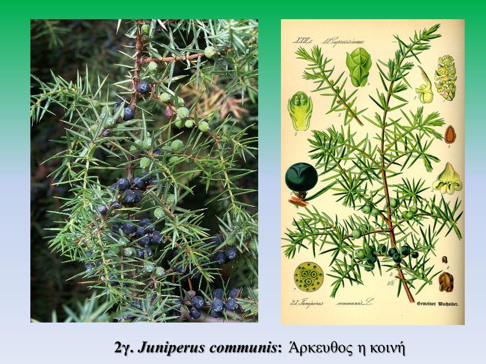 2γ. Juniperus communis: Άρκευθος η κοινή