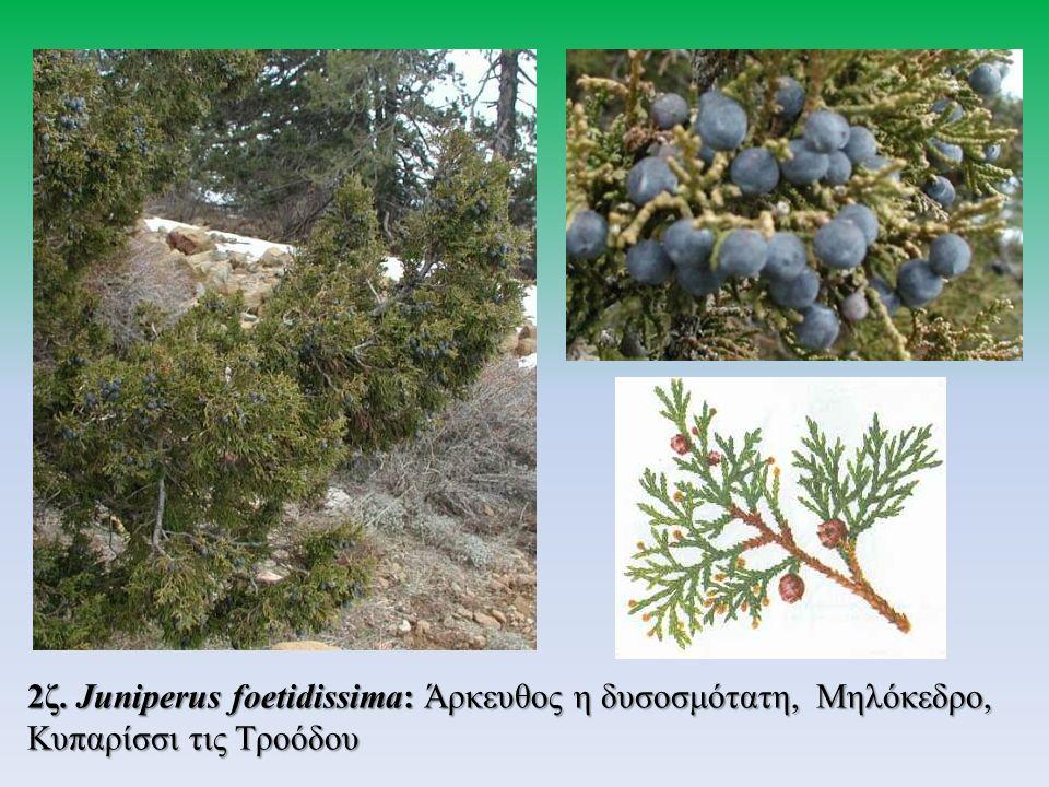 2ζ. Juniperus foetidissima: Άρκευθος η δυσοσμότατη, Μηλόκεδρο, Κυπαρίσσι τις Τροόδου