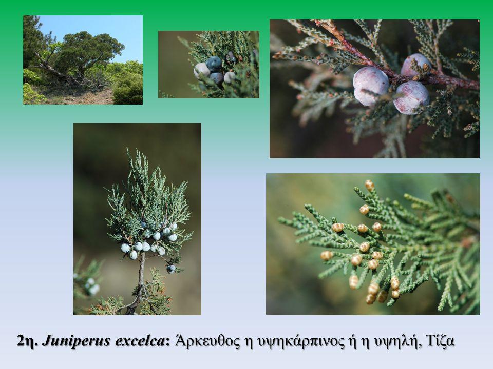2η. Juniperus excelca: Άρκευθος η υψηκάρπινος ή η υψηλή, Τίζα