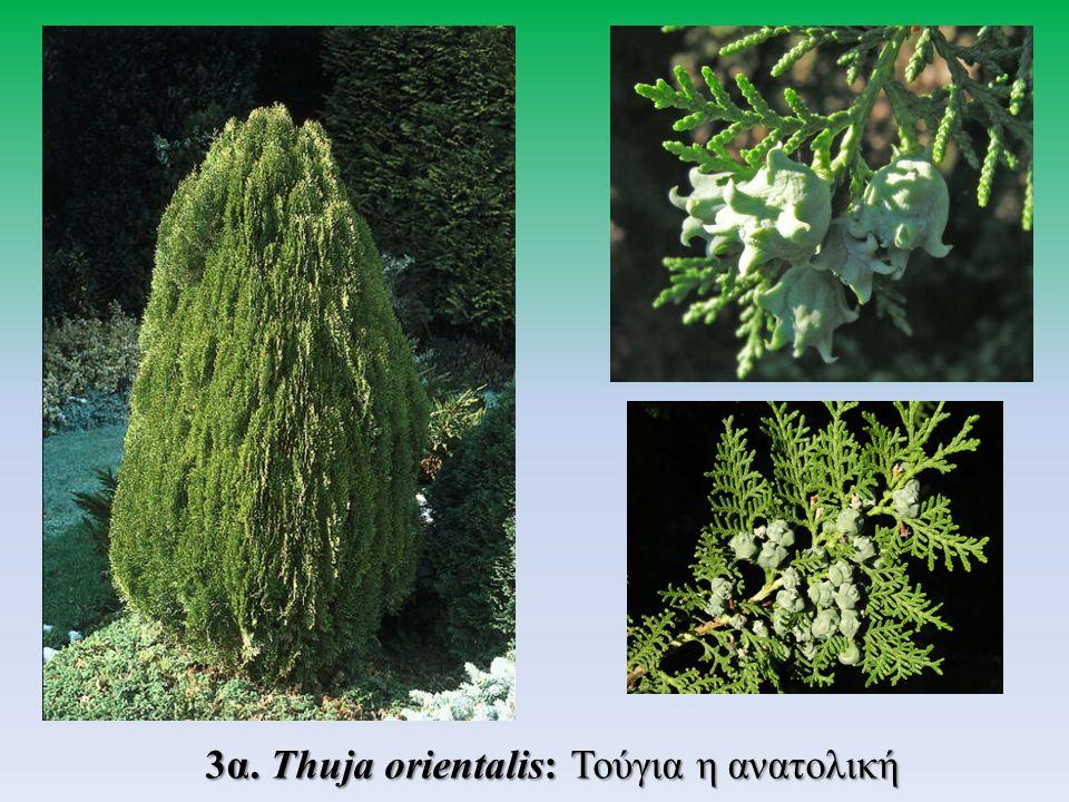 3α. Thuja orientalis: Τούγια η ανατολική