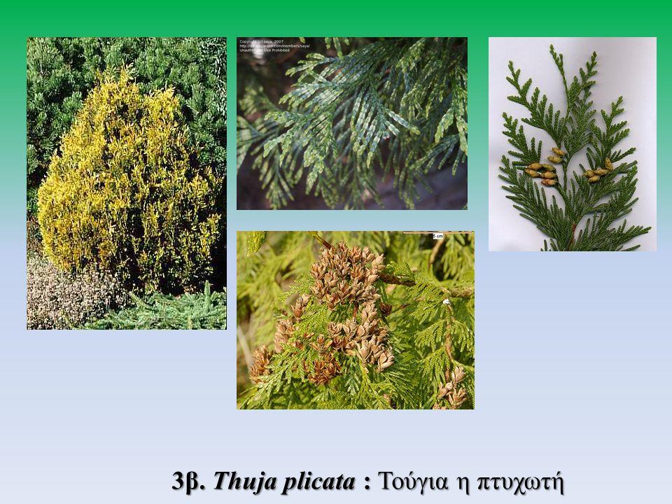3β. Thuja plicata : Τούγια η πτυχωτή