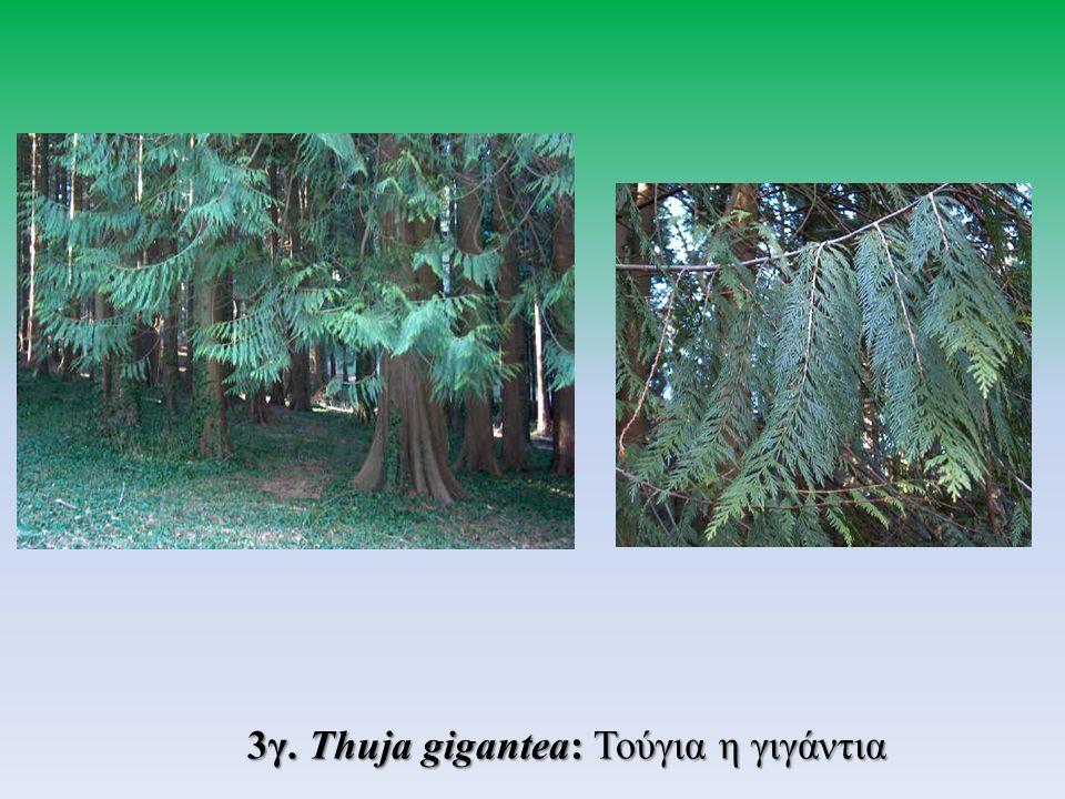 3γ. Thuja gigantea: Τούγια η γιγάντια