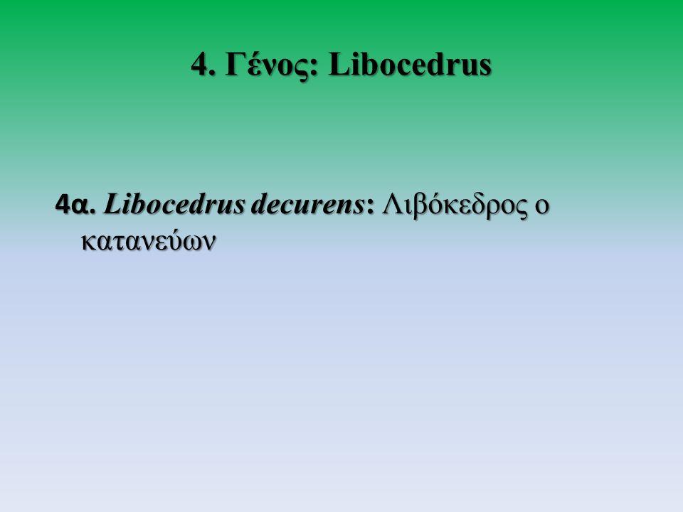 4. Γένος: Libocedrus 4α. Libocedrus decurens: Λιβόκεδρος ο κατανεύων