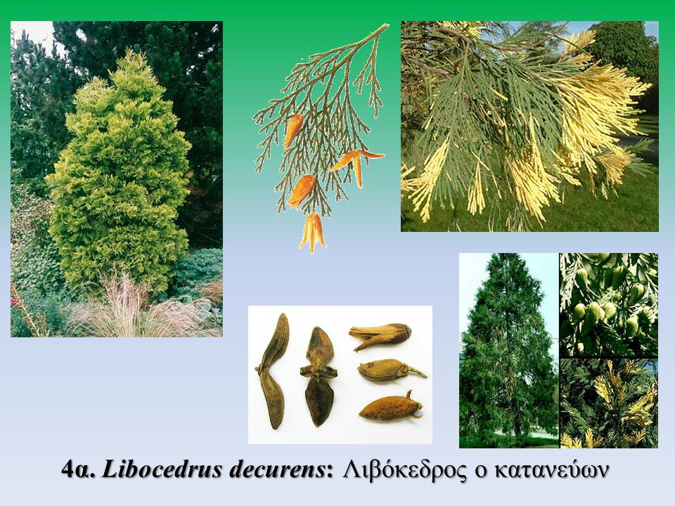 4α.Libocedrus decurens: Λιβόκεδρος ο κατανεύων 4α. Libocedrus decurens: Λιβόκεδρος ο κατανεύων