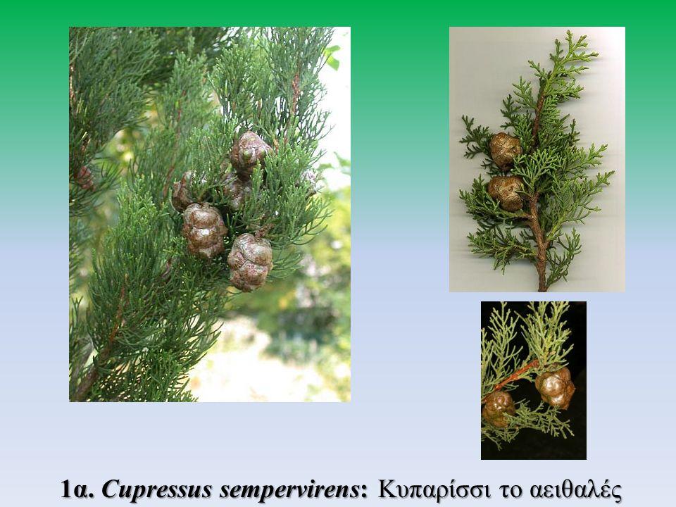 α) Cupressus sempervirens var pyramidalis: Κυπαρίσσι πυραμίδας ή Κυπαρίσσι το ορθόκλαδο