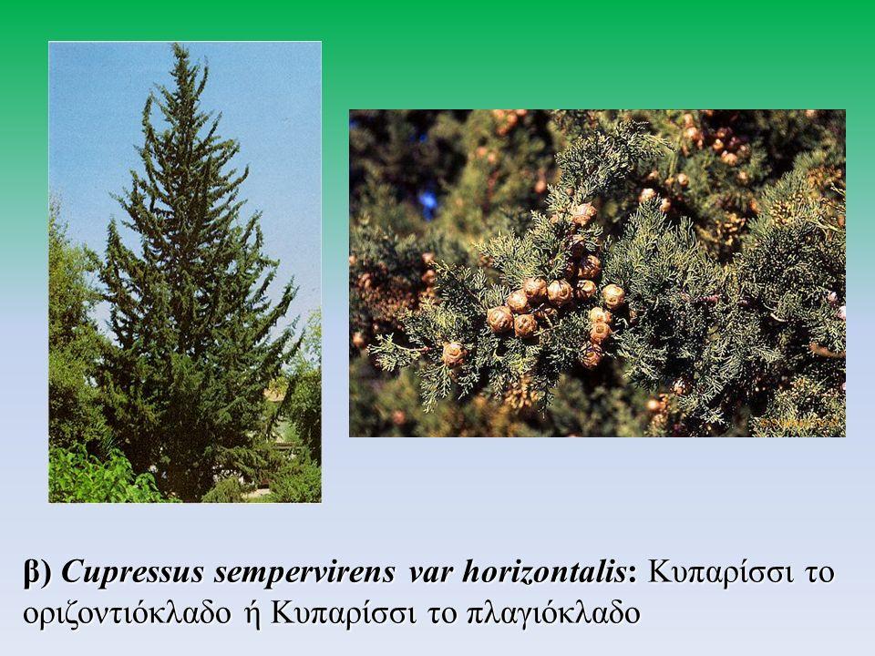 β) Cupressus sempervirens var horizontalis: Κυπαρίσσι το οριζοντιόκλαδο ή Κυπαρίσσι το πλαγιόκλαδο